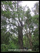 Woodville Forest's giant Outeniqua Yellowwood
