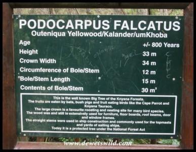 Woodville Forest's giant Outeniqua Yellowwood (Podocarpus falcatus)