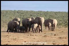 Herd of elephants making their way to the waterhole