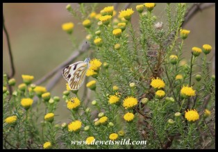 Common Meadow White butterfly