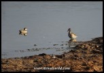Red-billed Teals and a Three-banded Plover