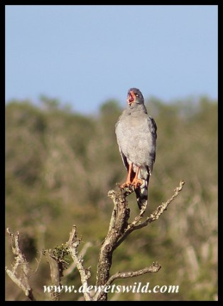 Pale Chanting Goshawk taking on rooster-duty