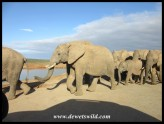 Herd of elephants making their way to the waterhole