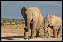 Herd of elephants making their way to the waterhole (photo by Joubert)