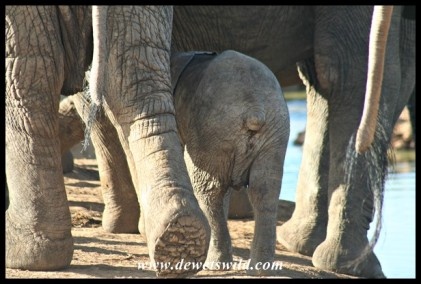Recognise the little stump-tailed ellie? (photo by Joubert)