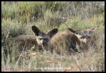 Bat-eared Fox family (photo by Joubert)