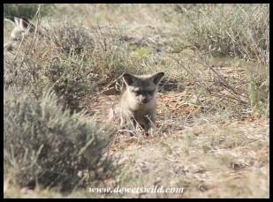 Bat-eared Fox pups (photo by Joubert)