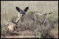 Bat-eared Fox family