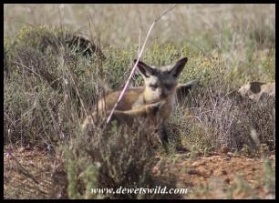 Bat-eared Fox pups