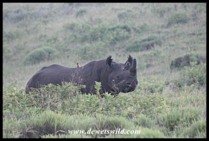 Black Rhino on the eastern shores of Lake St. Lucia