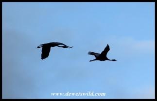 Blue Cranes in flight over Bontebok National Park