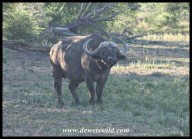 Buffalo bull (photo by Joubert)