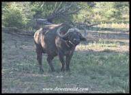 Buffalo bull (photo by Joubert)