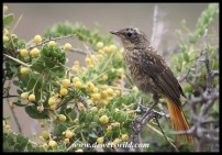 Immature Cape Robin-Chat
