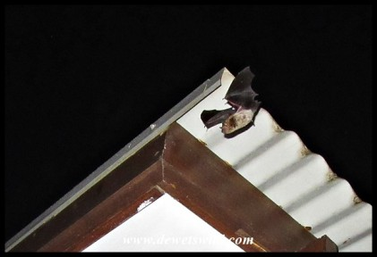 Cape Serotine Bat