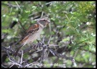Cape Sparrow (female)