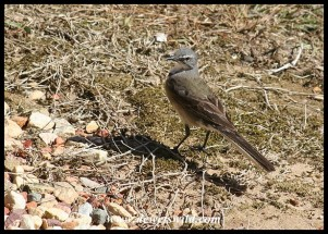 Cape Wagtail welcoming us to our chalet (photo by Joubert)