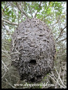 This is the enormous nest of the Cocktail Ant