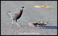 Crested Guineafowl family