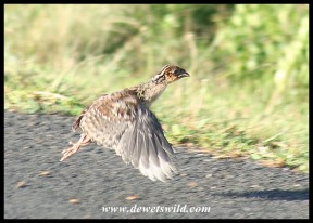Joubert's picture of a baby Crested Guineafowl taking off quite strongly!
