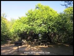Sweet Thorn in Doornhoek Picnic Site