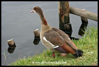 Egyptian Goose (photo by Joubert)