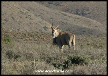 Eland (photo by Joubert)