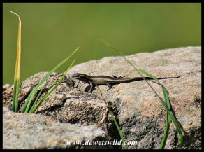 Speckled Rock Skink in Golden Gate Highlands National Park