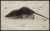 Greater Red Musk Shrew