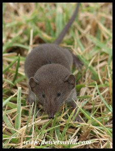 Greater Red Musk Shrew (photo by Joubert)