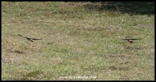 Greater Striped Swallows swooping over the lawns of the camp (photo by Joubert)