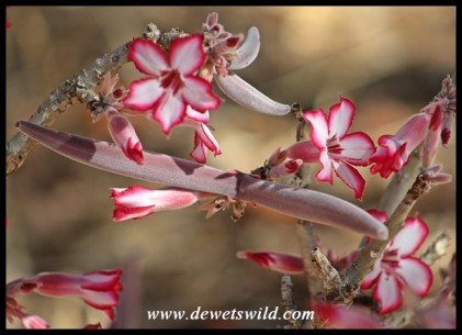 Impala Lily seedpod and flowers