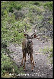Nervous Kudu bull