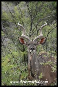 Nervous Kudu bull (photo by Joubert)