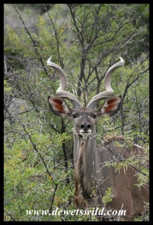 Nervous Kudu bull (photo by Joubert)