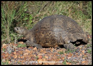 Tortoises are common in Bontebok National Park - this one being a Leopard Tortoise seen at the reception building