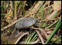 Marsh Terrapin