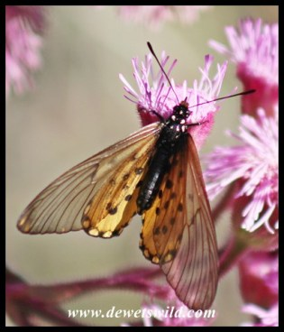 Garden Acraea on exotic pompom weed
