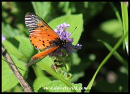 Garden Acraea on exotic lantana