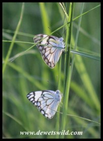 Brown-veined Whites