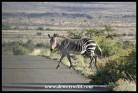 Mountain Zebra crossing in Karoo National Park (photo by Joubert)