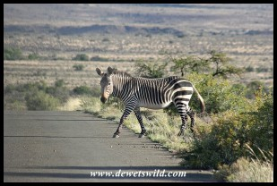 Mountain Zebra crossing in Karoo National Park (photo by Joubert)