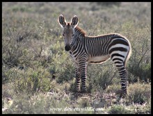 Mountain Zebra foal