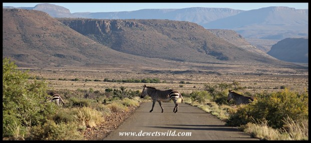 Mountain Zebra crossing in Karoo National Park