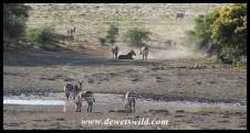Mountain Zebras congregating at a waterhole
