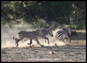 Two Mountain Zebra stallions chasing a mare