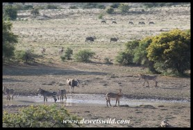 Cape Mountain Zebra and Eland congregating at a waterhole