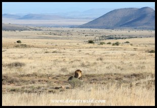 Male lion at Mountain Zebra National Park