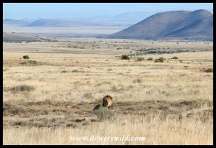 Male lion at Mountain Zebra National Park