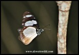 Novice (Amauris ochlea)